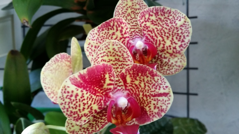 phalaenopsis dazzle 20160217