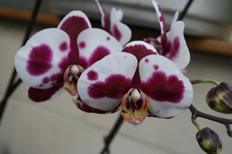 phalaenopsis elegant godess Img_2415