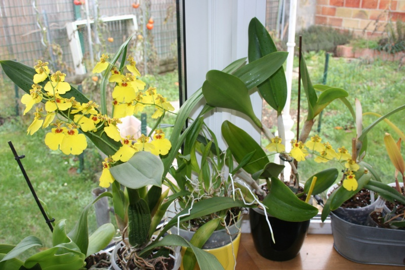 oncidium pluie d'or - Page 4 Img_2416