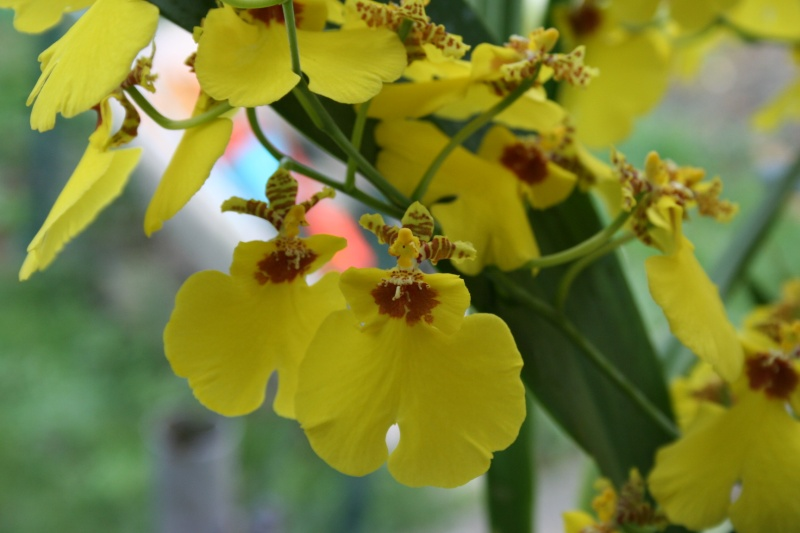 oncidium pluie d'or - Page 4 Img_2417