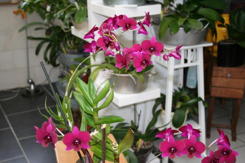 Dendrobium de type phalaenopsis thai black - Page 3 Img_2429