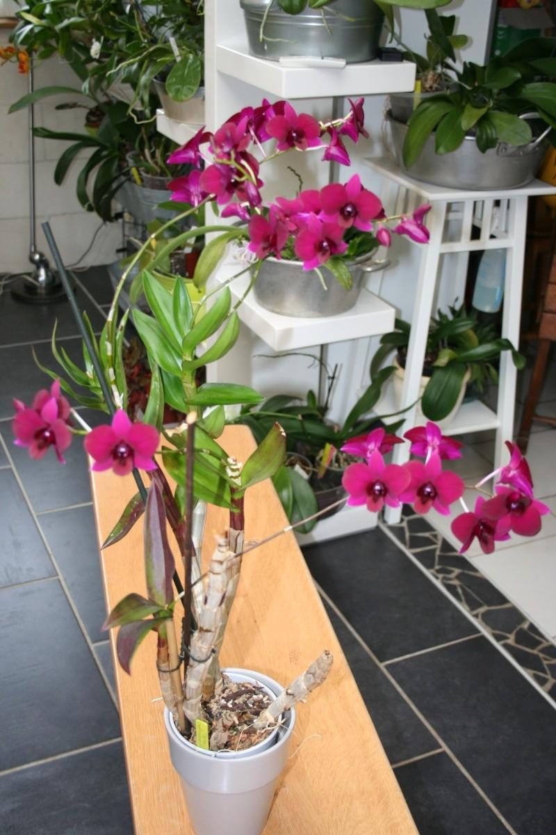 Dendrobium de type phalaenopsis thai black - Page 3 Img_2430