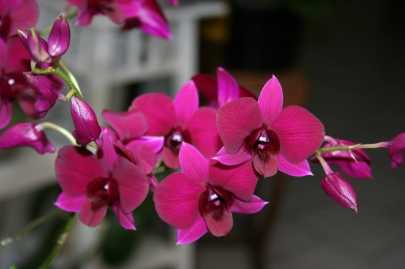 Dendrobium de type phalaenopsis thai black - Page 3 Img_2431