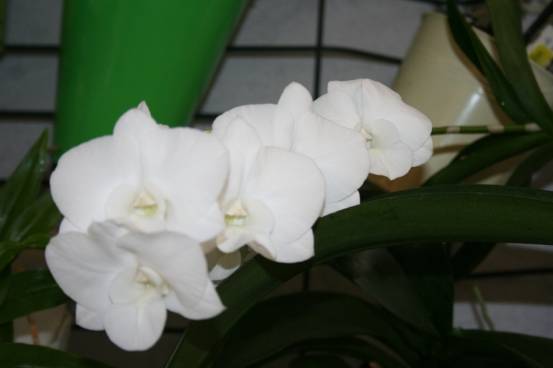 dendrobium phalaenopsis Emma White Img_2524