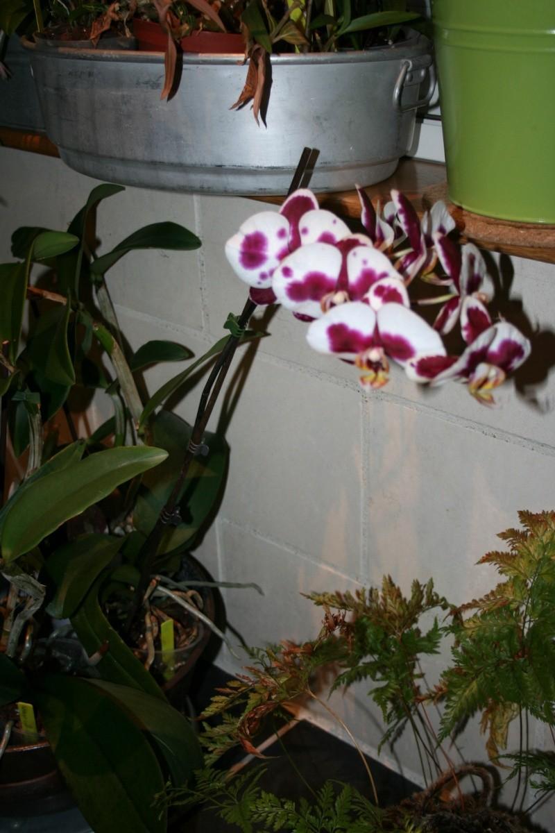 phalaenopsis elegant godess Img_2613