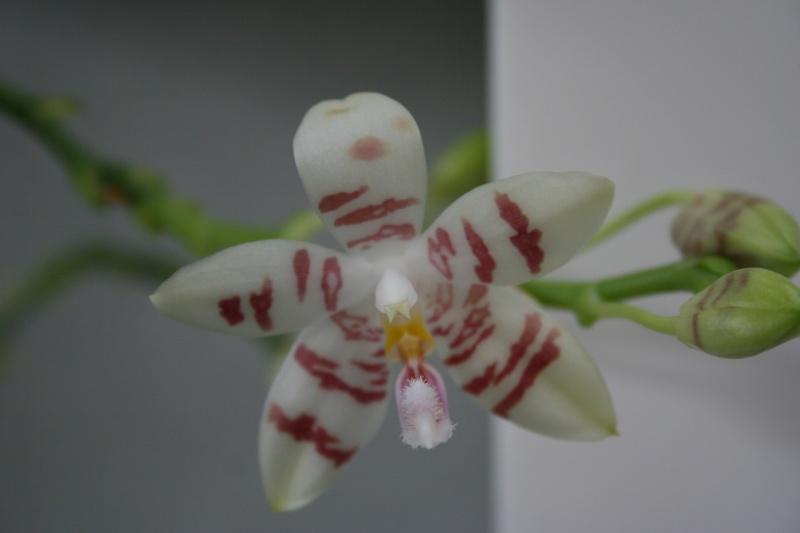 phalaenopsis amboinensis white x tetraspis  Img_2712