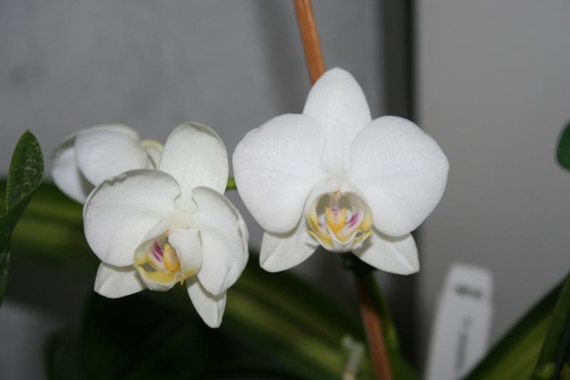phalaenopsis amabilis Img_2722