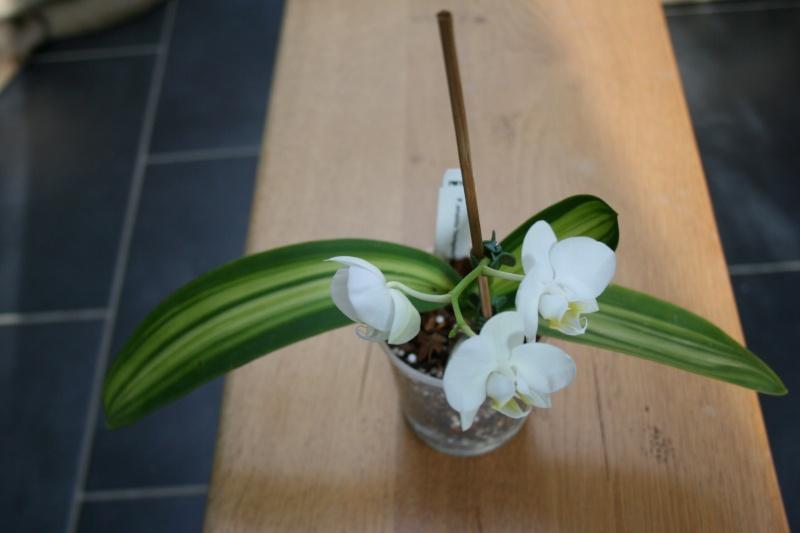 phalaenopsis amabilis Img_2723