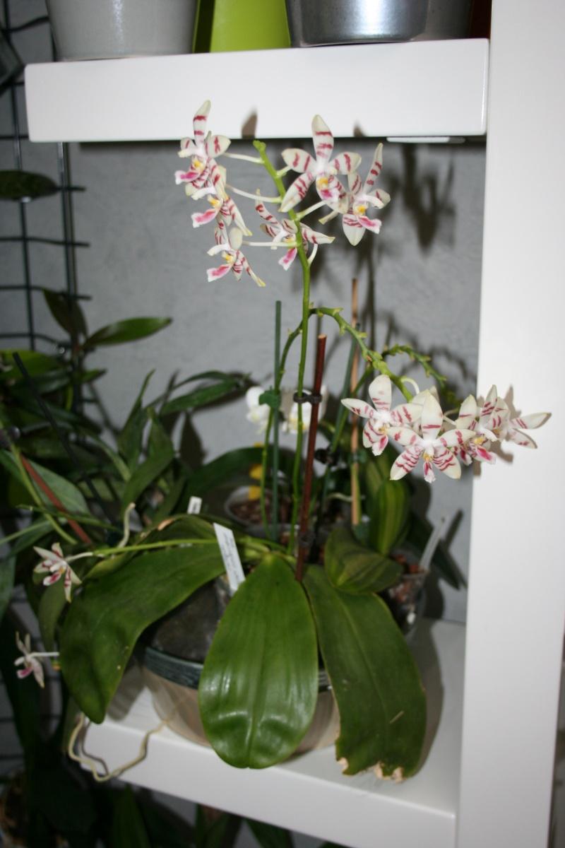 phalaenopsis amboinensis white x tetraspis  - Page 2 Img_2724