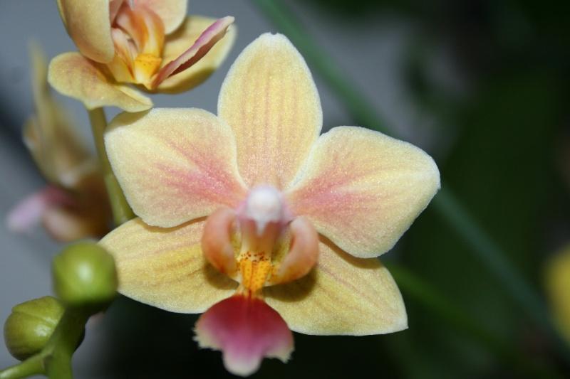 phalaenopsis sunny smell  Img_2726