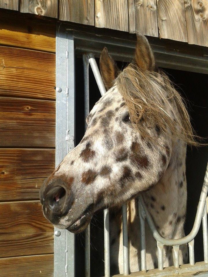 Vulcan of the Rock, étalon appaloosa - Page 3 70292210