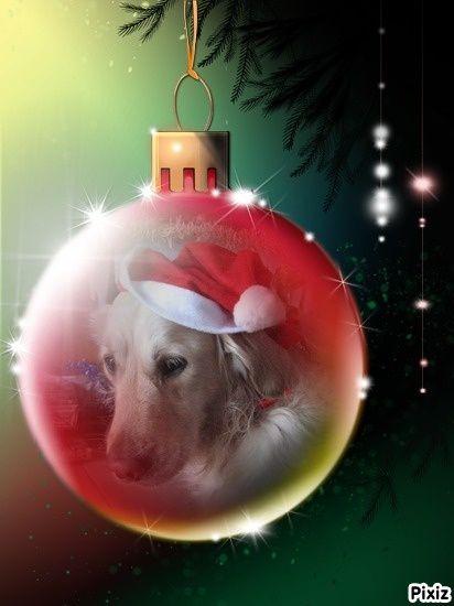 Concours photos de vos chiens, chats à l'occasion des fêtes de fin d'année - Page 2 Hisia_10