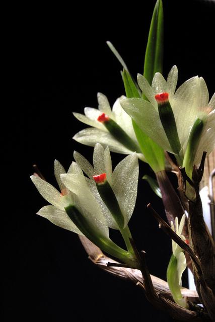 Discussion autour d'un genre : Les Dendrobium - Page 3 68603710