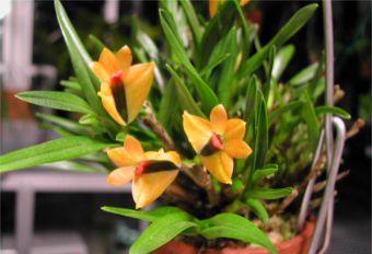 Discussion autour d'un genre : Les Dendrobium - Page 3 Bekisi10