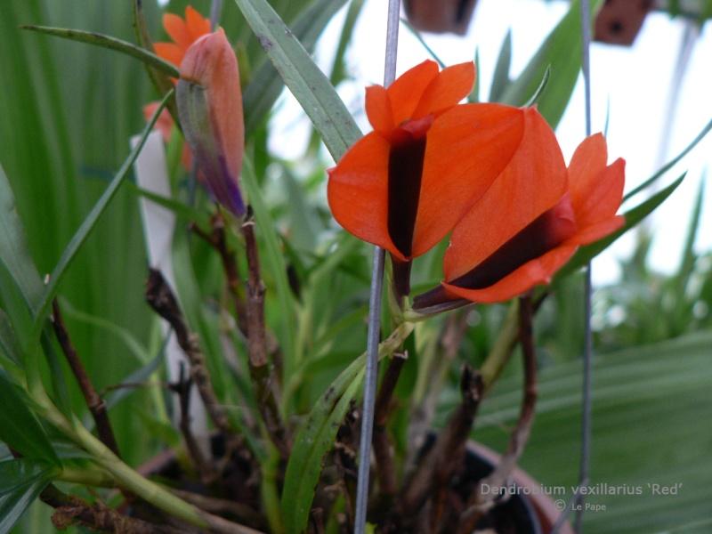 Discussion autour d'un genre : Les Dendrobium - Page 3 Dendro12