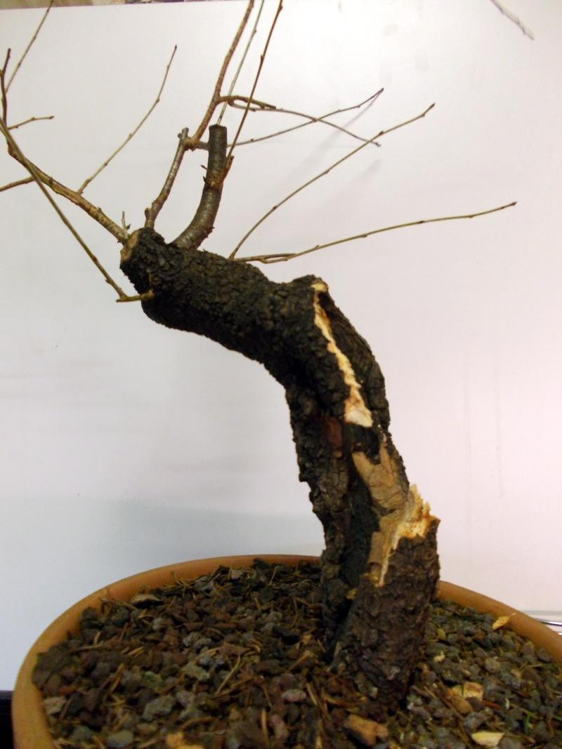 Prunus Mahaleb 02 Dscn2712
