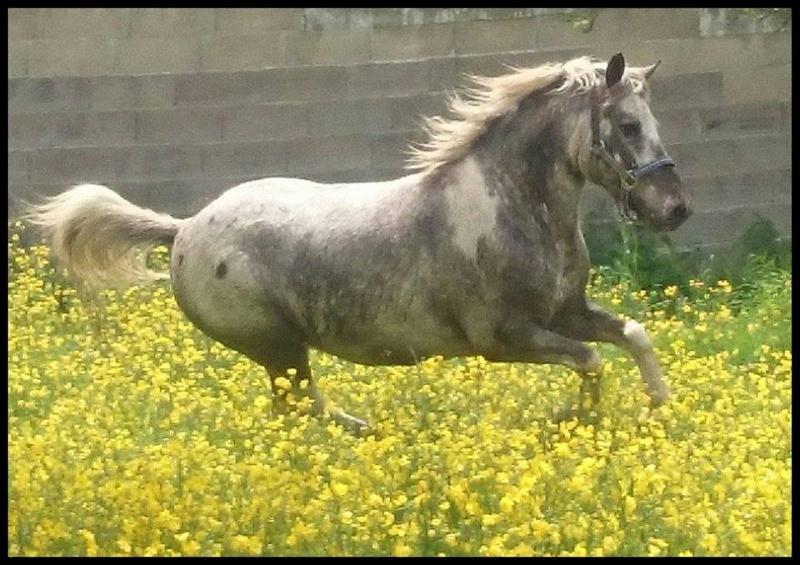 Quirby, poney apaloosa dep55 18310