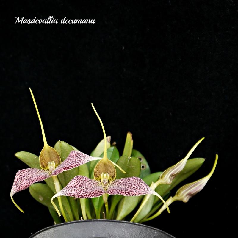Masdevallia decumana P1400213