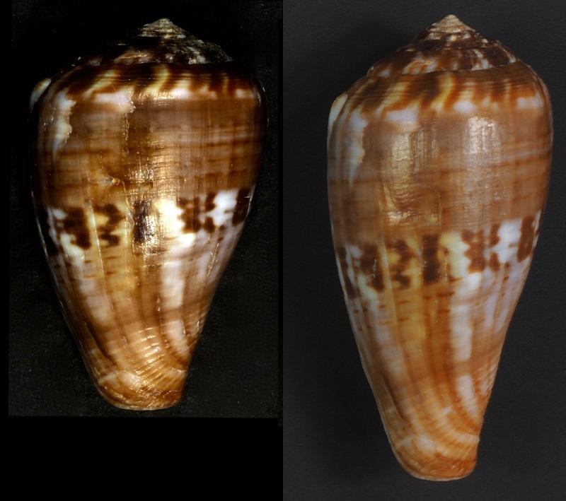Cone à identifier Conus_10