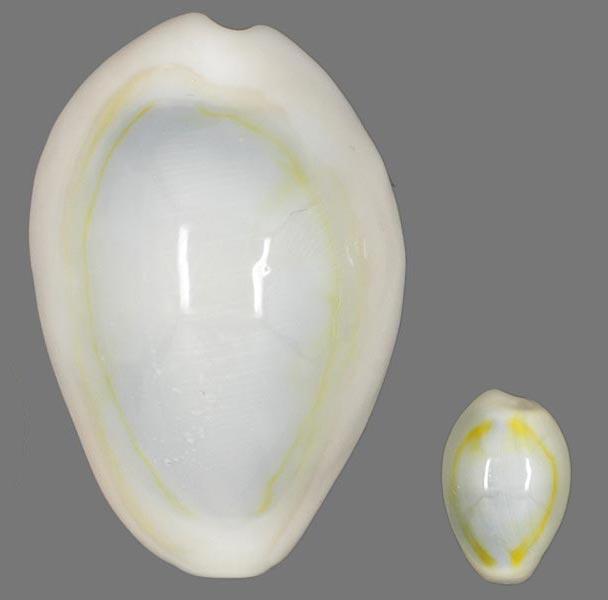 Monetaria annulus annulus  -   (Linnaeus, 1758) Cyprae11