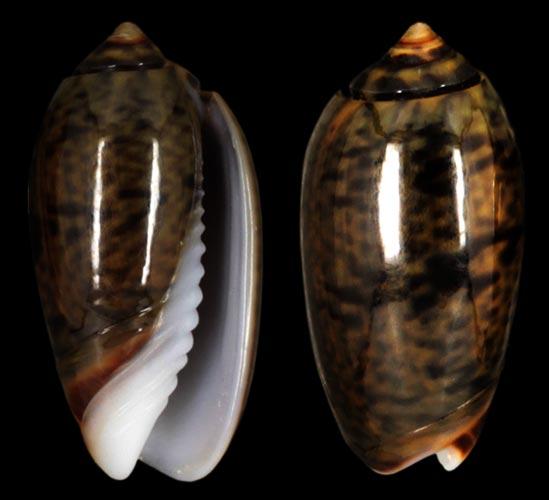 Oliva mucronalis Petuch & Sargent, 1986 Oliva-10
