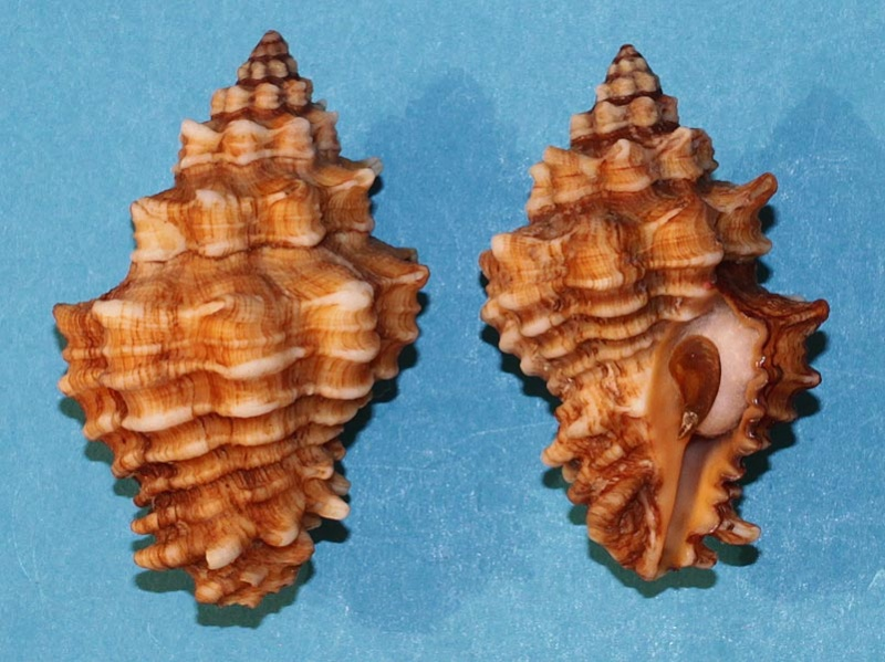 Vasum capitellum - (Linnaeus, 1758) Vasum-10