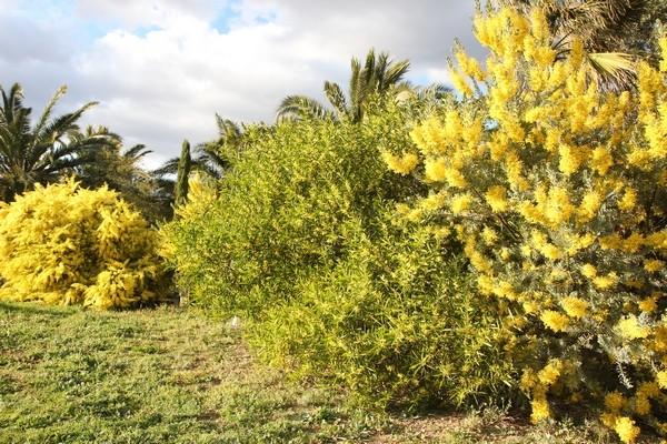 Pierre - Jardin d'acclimatation privé : l'Oasis (66) Acacia11