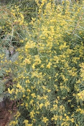 Pierre - Jardin d'acclimatation privé : l'Oasis (66) Acacia13