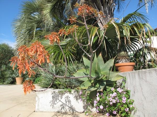 Aloe striata Aloe_m12