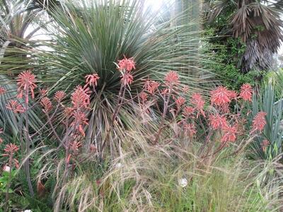 Aloe maculata et Aloe grandidentata - différencier  Aloe_m13