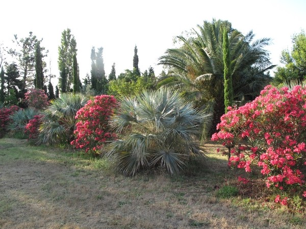brahea armata - Brahea armata - palmier bleu du Mexique - Page 2 Brahea10