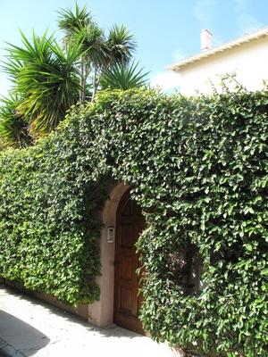 Ficus pumila - Page 4 Ficus_10