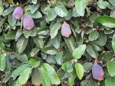 Ficus pumila - Page 4 Ficus_11