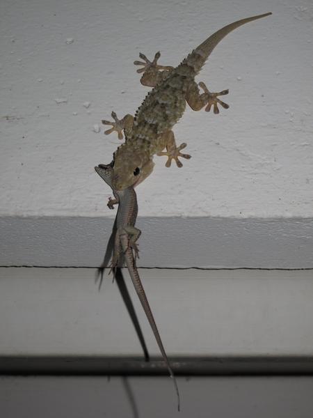 lézards et autres reptiles - Page 4 Gecko_10