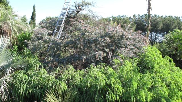 Acacia vestita - mimosa Sainte-Hélène Img_4412