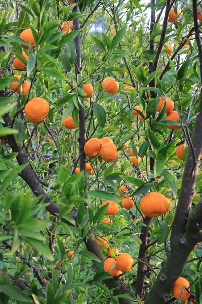 Citrus reticulata (= Citrus deliciosa) - mandarinier commun Mandar10