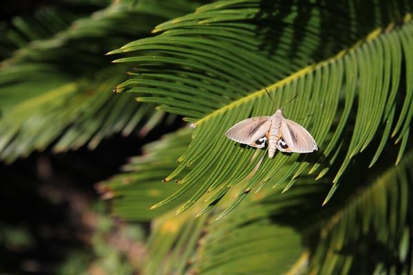 Palmiers résistants aux parasites Paysan10