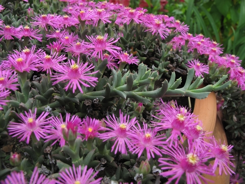 Aizoaceae du jardin  - Page 6 Ruschi10