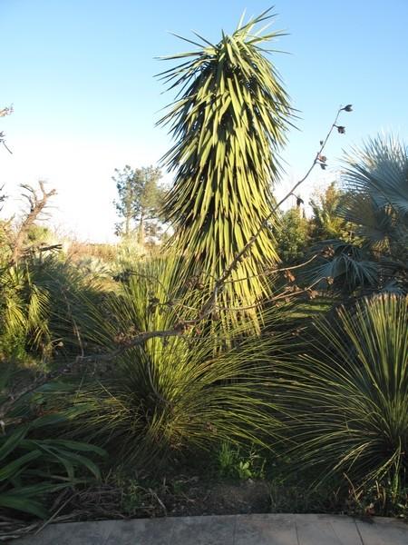 Yucca filifera Yucca_10