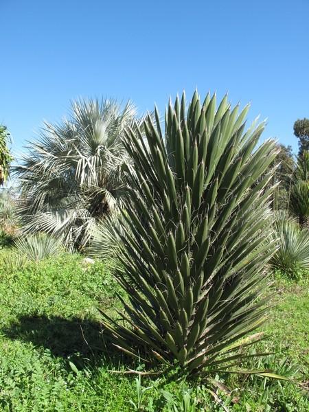 Yucca filifera Yucca_11