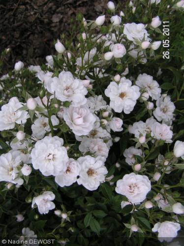 Joyeux Anni , Perceneige  Rosa_p10