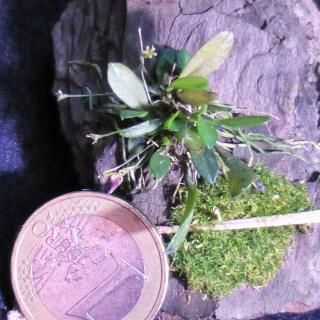 Miniatur-Orchideen 2. Teil - Seite 24 Acinet10