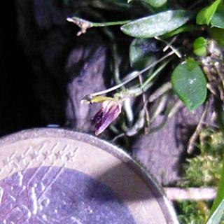 Miniatur-Orchideen 2. Teil - Seite 24 Acinet11