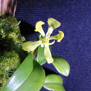 Miniatur-Orchideen 2. Teil - Seite 24 Oncidi10