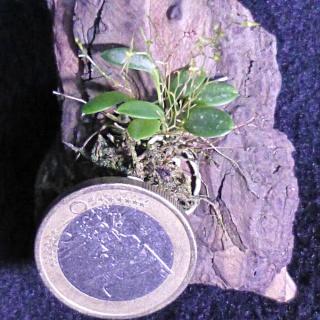 Miniatur-Orchideen 2. Teil - Seite 24 Platys13