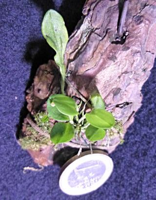 Miniatur-Orchideen 2. Teil - Seite 24 Platys14