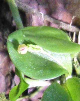 Miniatur-Orchideen 2. Teil - Seite 24 Platys15