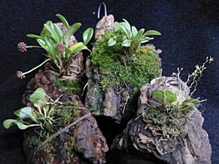 Miniatur-Orchideen 2. Teil - Seite 24 Platys25