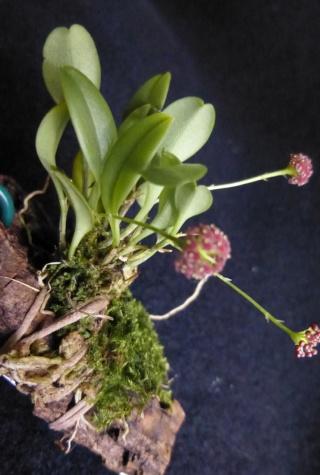 Miniatur-Orchideen 2. Teil - Seite 24 Platys27