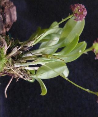 Miniatur-Orchideen 2. Teil - Seite 24 Platys29